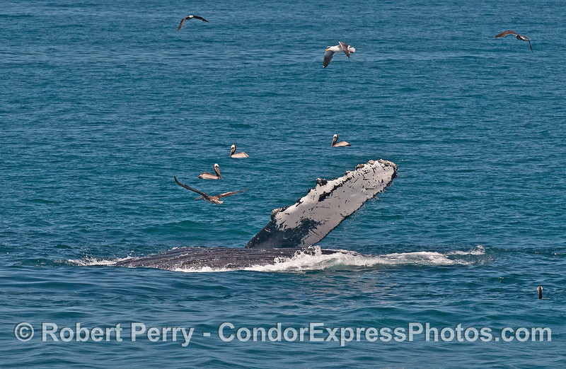 Humpback whale sideways lunge feeding with ventral grooves and long white pectoral fin exposed