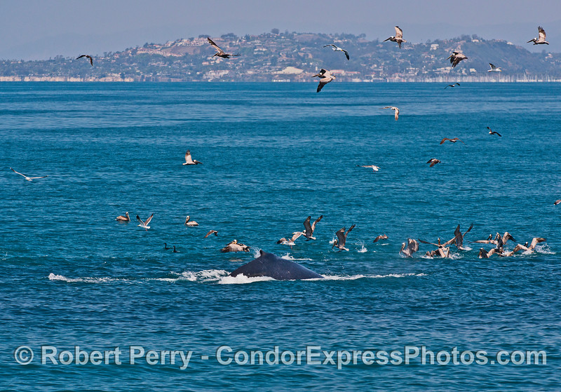 A humpback comes to the surface and scatters the brown pelicans