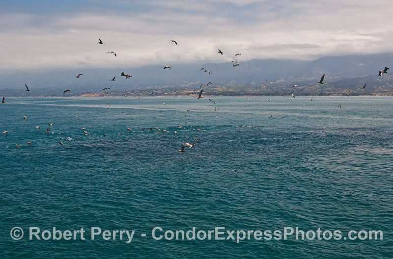 The dark patch in the emerald water is a large mass of northern anchovies which has created an oceanic hot spot full of feeding sea birds, dolphins and a humpback whale