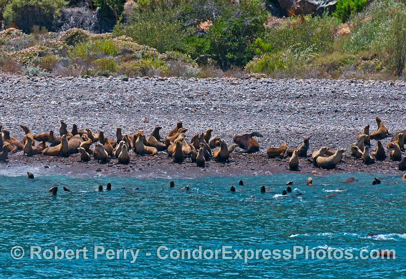 California sea lions hauled out, and in the shallow waters, at a pocket beach near Cueva Valdez, Santa Cruz Island