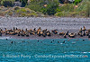 California sea lions hauled out, and in the shallow waters, at a pocket beach near Cueva Valdez, Santa Cruz Island