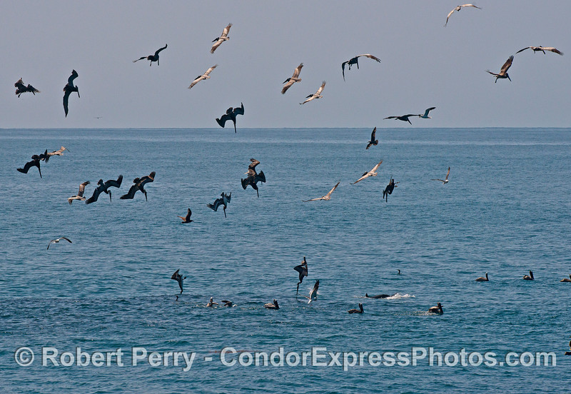 Image 2 of 2:  Pelicans diving on a hot spot