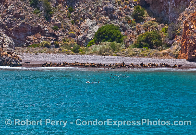 Panorama view of California sea lions hauled out, and in the shallow waters, at a pocket beach near Cueva Valdez, Santa Cruz Island