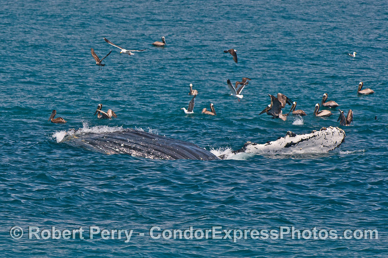 Upside down surface lunge feeding humpback whale - ventral grooves, brown pelicans and a long white pectoral fin