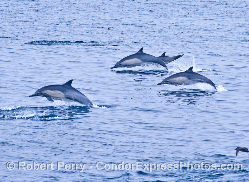 Part of a large pod of common dolphins