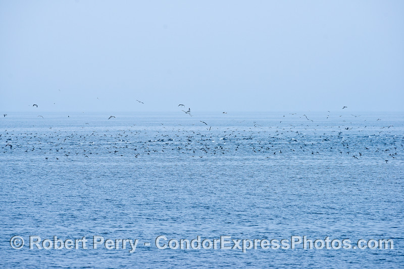 "A wide view of a large open ocean ""hot spot""   Most of the sea birds on the water are sooty shearwaters.  Gulls hover over head."