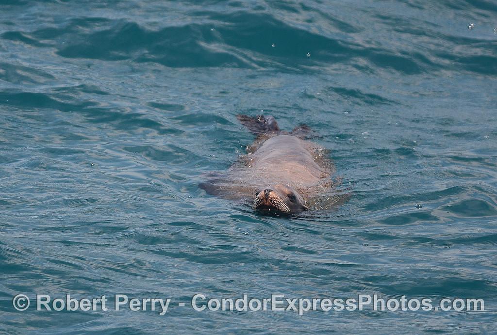 Curious California sea lion