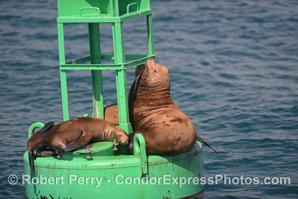 A young male California sea lion sits on a buoy with smaller females sleeping all aorund