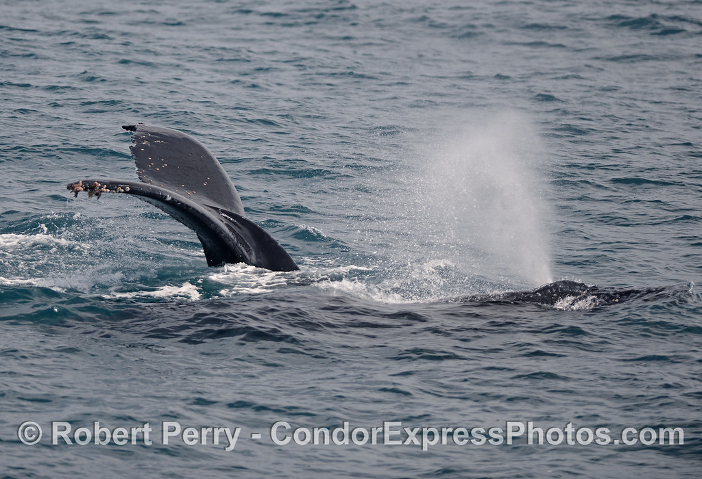 Mother (tail fluke) and her calf (spouting) humpback whales.