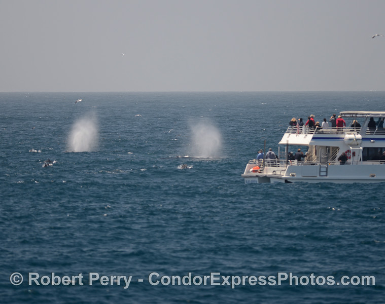Two tall humpback spouts near a boat