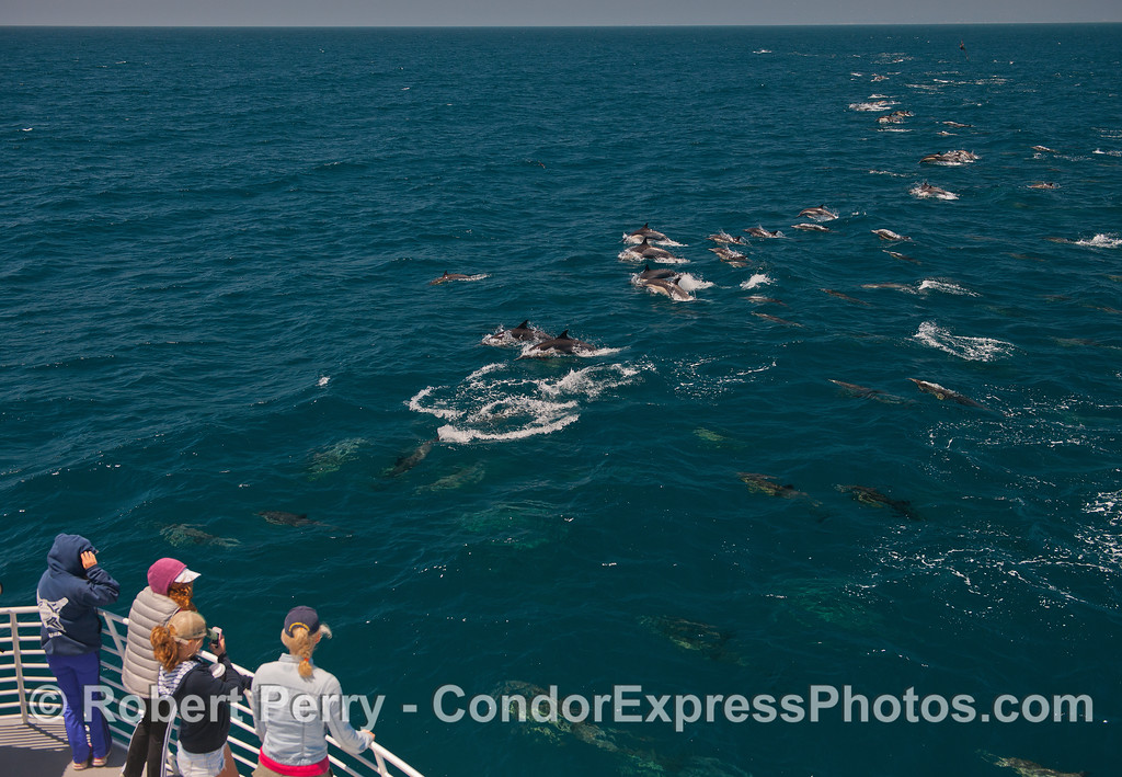Cetacean lovers enjoy a long line of common dolphins near the Condor Express