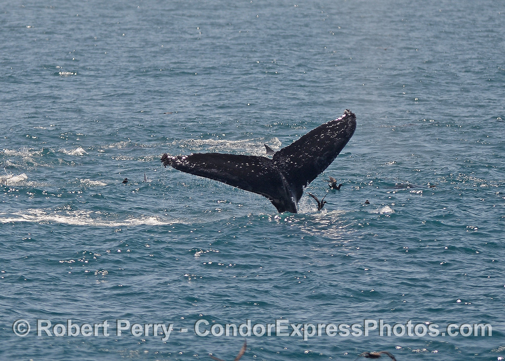 Humpback tail flukes with dolphins and shearwaters all around