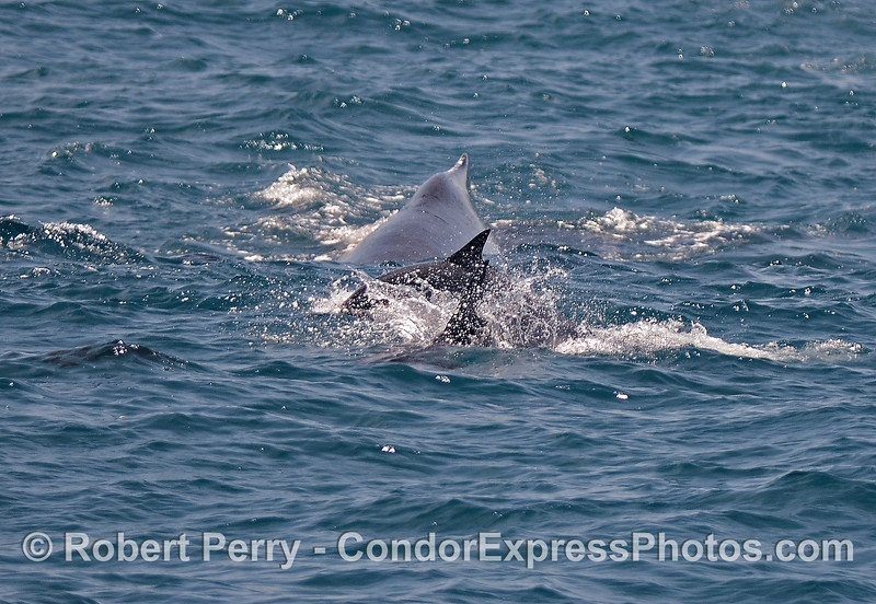 Common dolphins lead the charge as dorsal fins of a humpback whale and two dolphins line up on the surface.