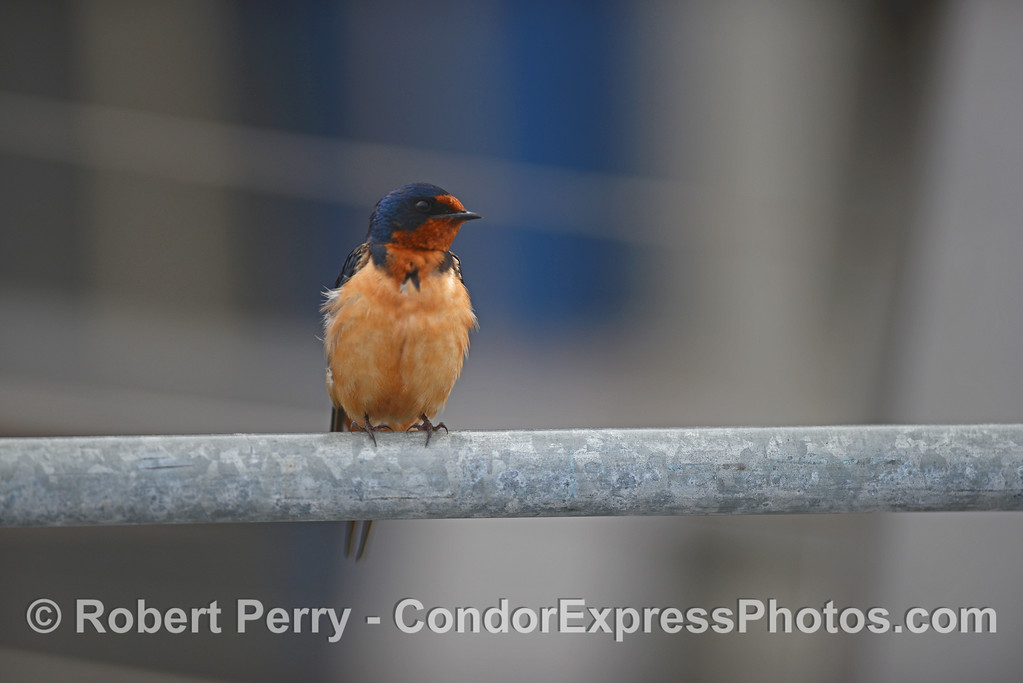A colorful barn swallow perched on a railing inside Santa Barbara Harbor