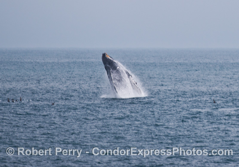 A humpback whale shoots out of the ocean like a guided missile.   Breach!