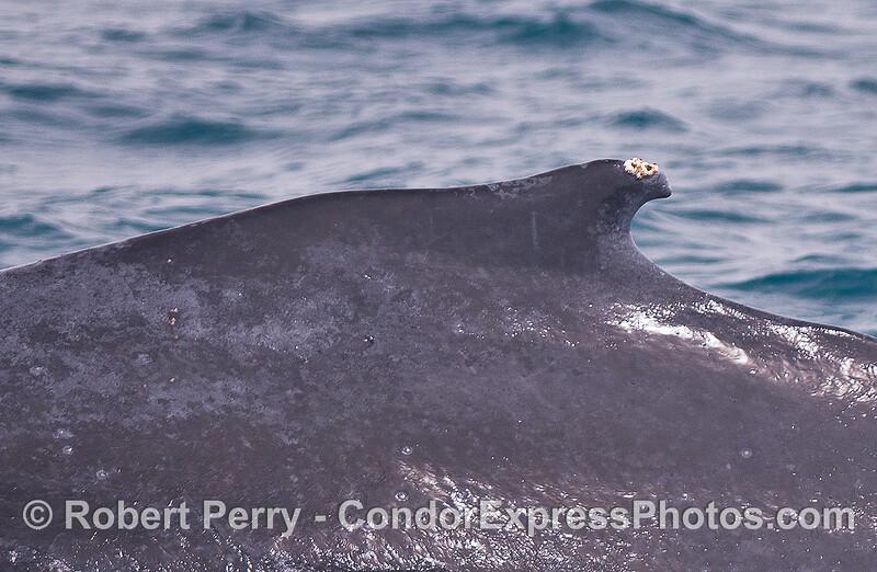Humpback dorsal fin close up