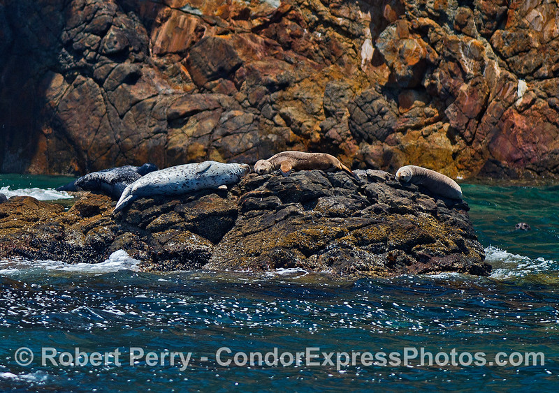 Sharing a sunny rock...on the left, Pacific harbor seals, on the right, California sea lions.