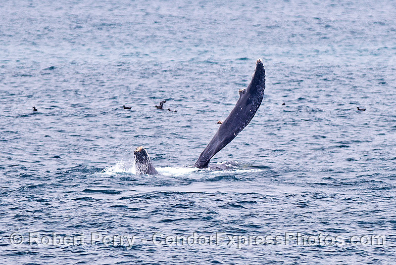 Humpback pectoral fin slapping - upside down on its back.
