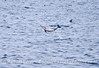 An exuberant long-beaked common dolphin flying high
