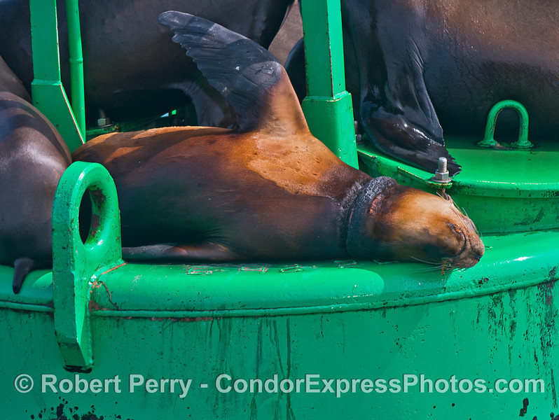 """A California sea lion relaxes on the Santa Barbara Harbor entrance buoy.  A """"necklace"""" wound from being entangled in fishing line can be seen."""