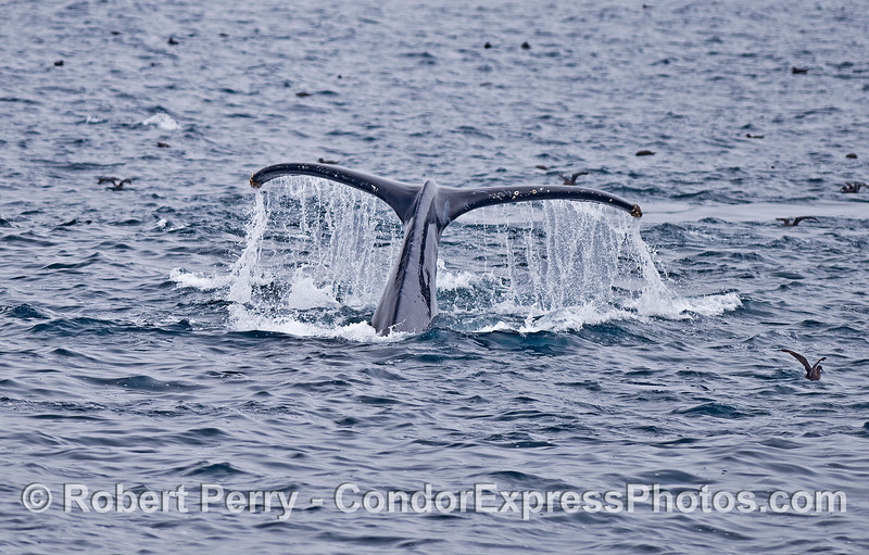 Humpback tail - fluking-up!