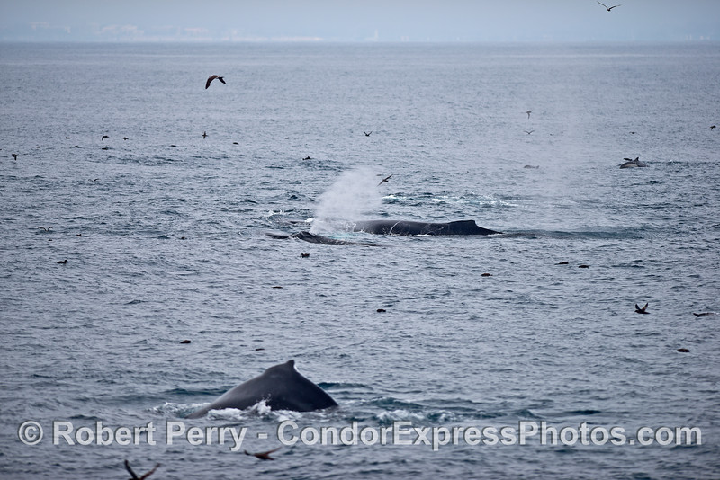 Three of many humpback whales are captured in one view on a hot spot of feeding activity.