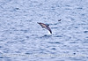 A long-beaked common dolphin gets airborne