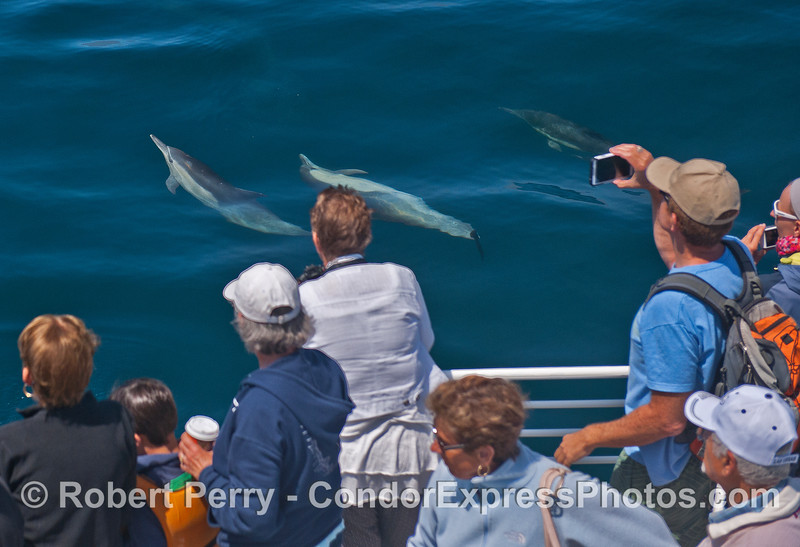 Crazy common dolphins roll around and entertain their fans