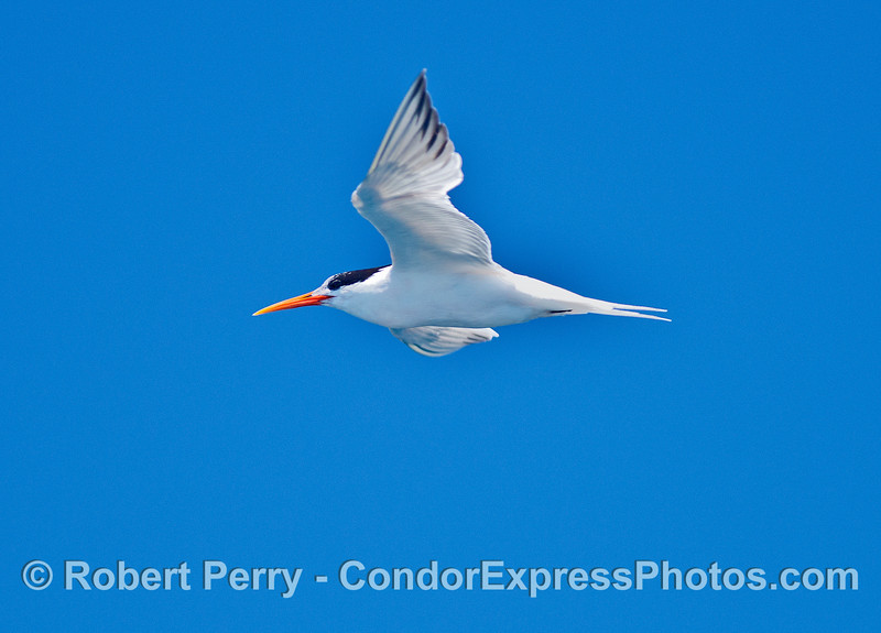 Elegant tern in flight with bright blue sky