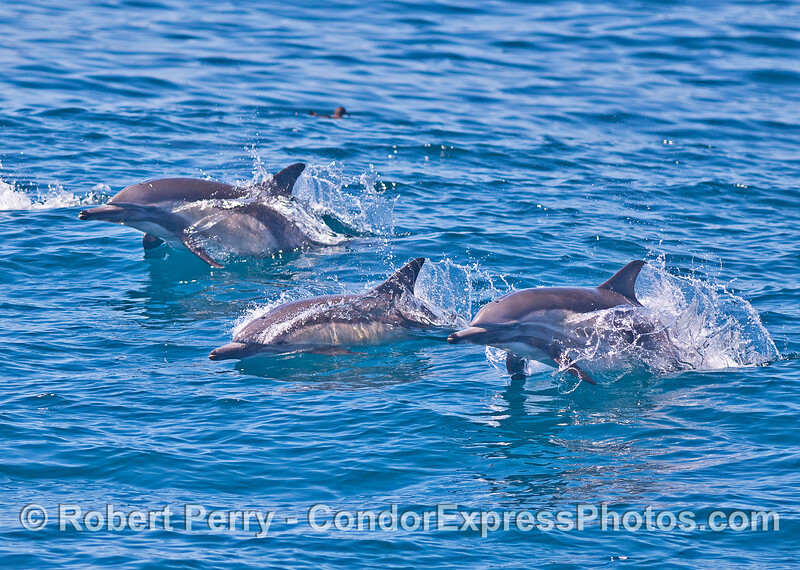 A small pod of common dolphins leaps across the waves