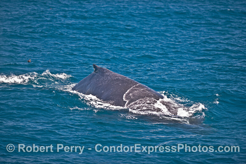 Humpback whale approaching !