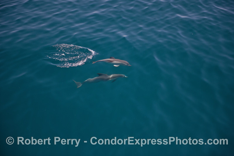Mother and her calf - common dolphins
