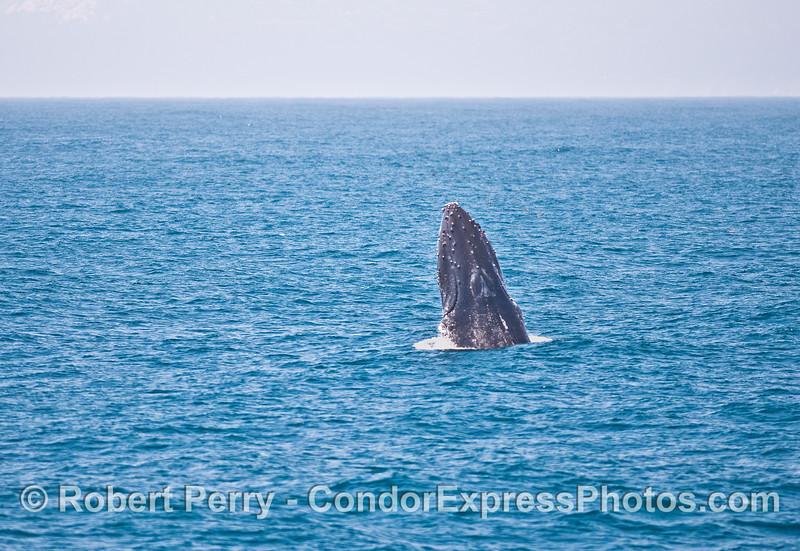 Breaching humpback whale.