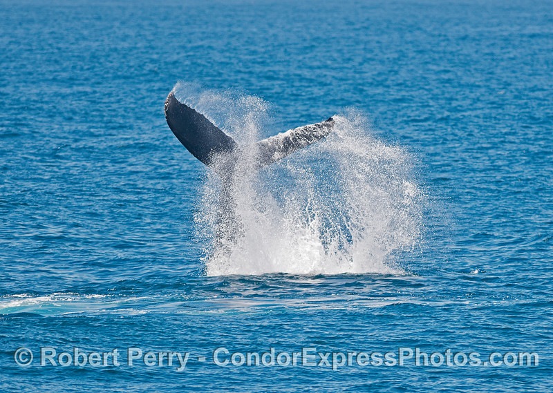 One of several tail throws from a very excited humpback whale