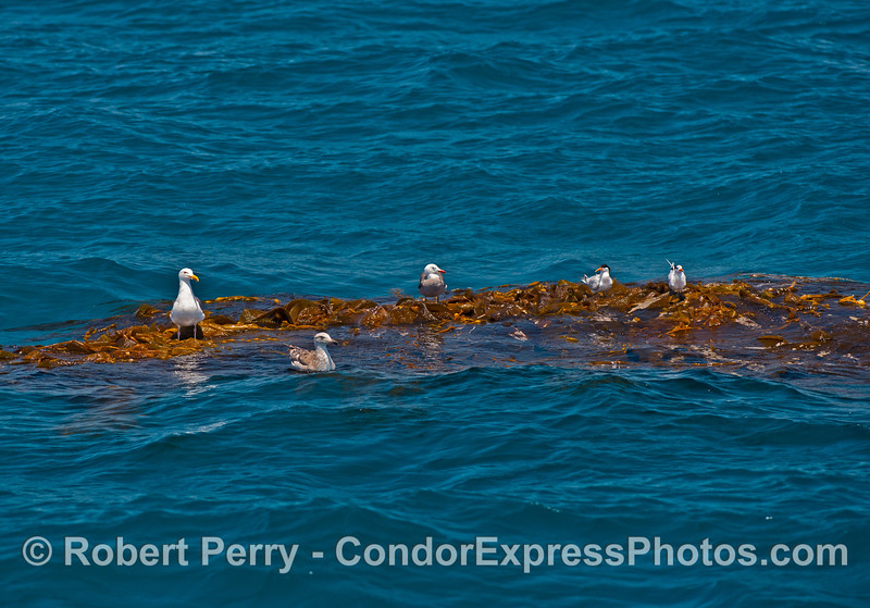 1 of 2:  Seabirds resting on a floating, detached kelp paddy.  From left to right: a western gull, a juvenile gull, a Heermann's gull, and two elegant terns.
