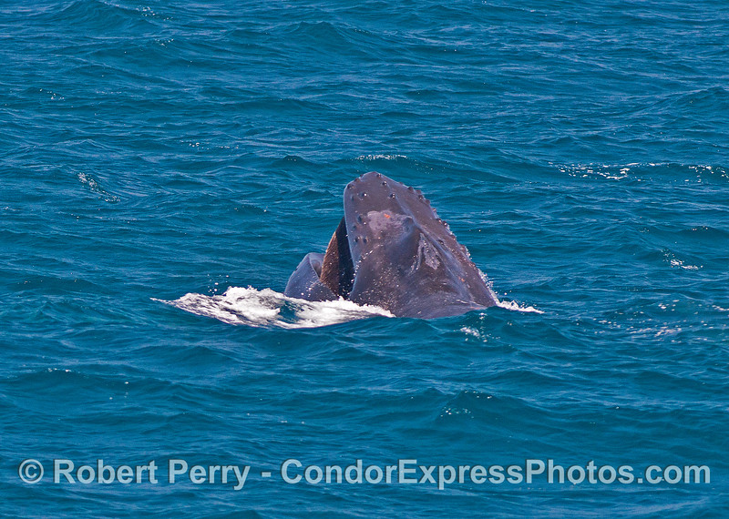 """1 of 3 in a row:   A humpback whale """"chomps"""" above the surface...perhaps taking in small schools of anchovies."""