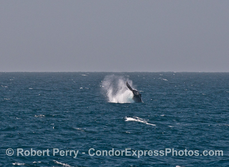 Image 2 of 3:  A powerful tail throw by a humpback whale.
