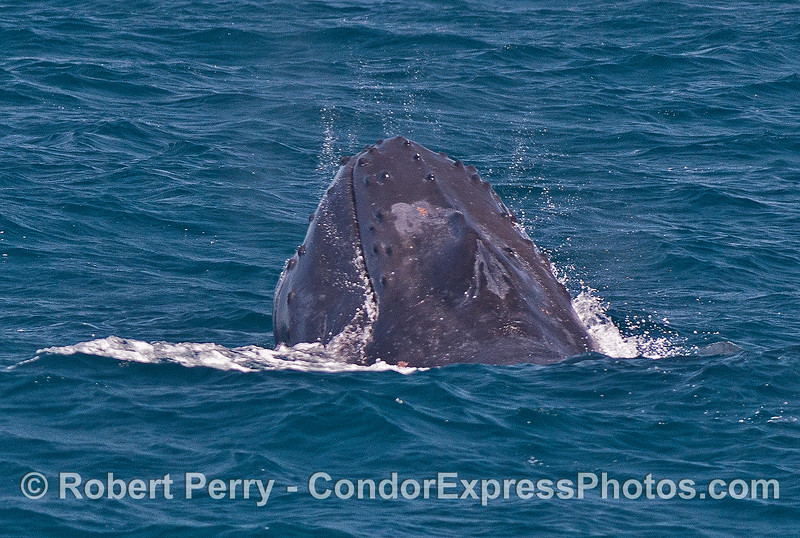 "3 of 3 in a row:   A humpback whale ""chomps"" above the surface...perhaps taking in small schools of anchovies."