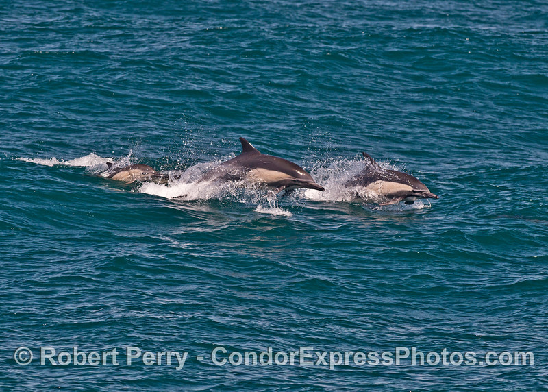 Two adult long-beaked common dolphins (right) and a small calf (left).