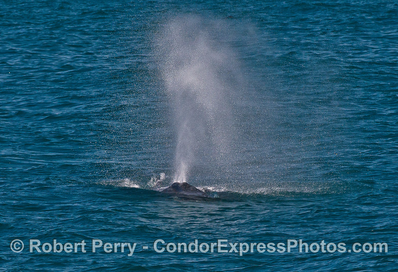 A humpback whale heads directly for the Condor Express while spouting in the breeze.