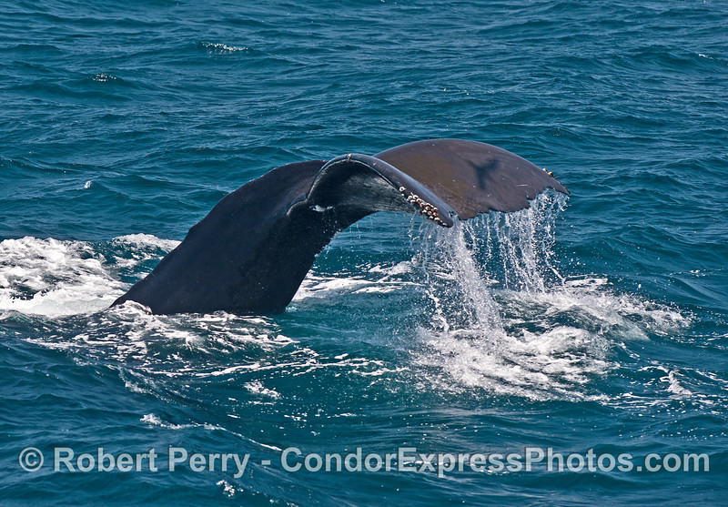 The shadow of a flying elegant tern is cast on the tail flukes of this humpback whale.