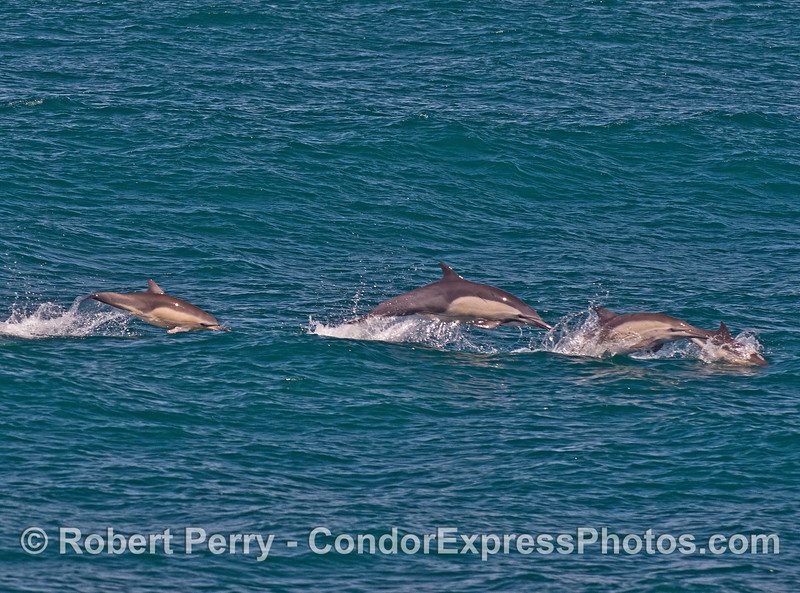 Adult common dolphins and a tiny calf leap across the waves.