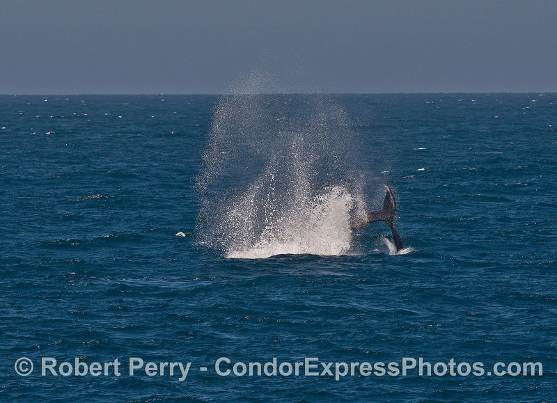 Image 3 of 3:  A powerful tail throw by a humpback whale.