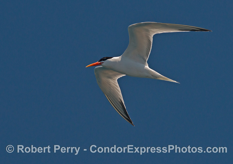 An elegant tern flys above the dolphins and whales keeping a sharp eye out for anchovies.