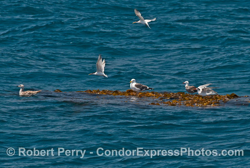 2 of 2:  Seabirds resting on a floating, detached kelp paddy, including a western gull, a juvenile gull, a Heermann's gull, and two elegant terns (two in flight).