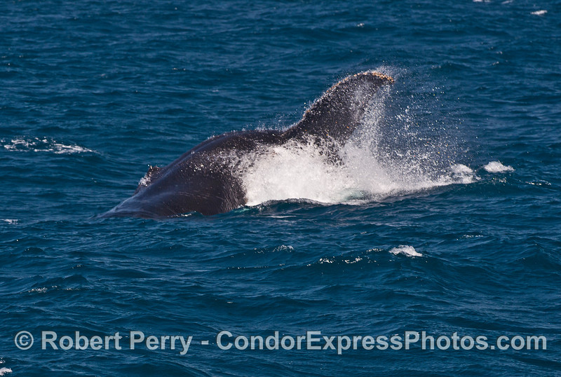 Image 1 of 3:  A powerful tail throw by a humpback whale.