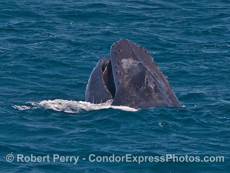"2 of 3 in a row:   A humpback whale ""chomps"" above the surface...perhaps taking in small schools of anchovies."