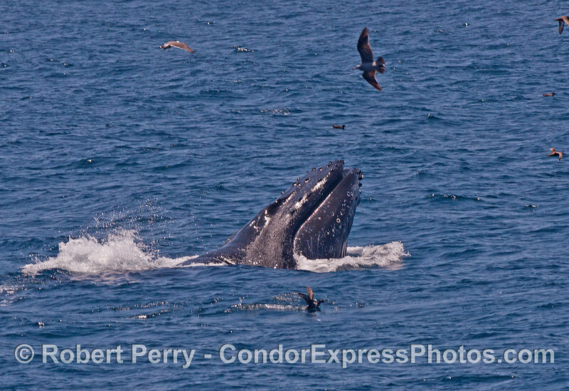 """Our pal """"Rope,"""" the humpback whale we've seen every year for the past 12 years, is shown here vertically lunge feeding on surface anchovies."""