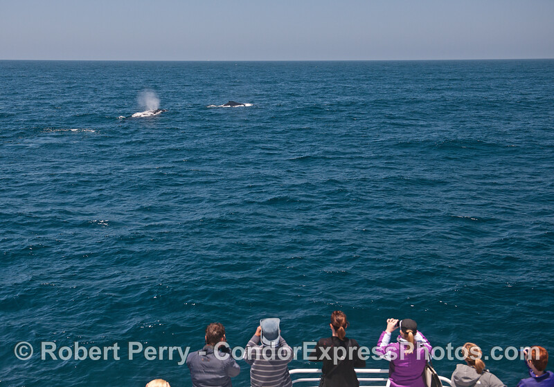 Two humpback whales surface near the bow of the Condor Express