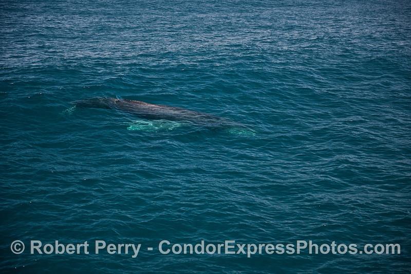 A humpback whale surfs an open ocean swell.